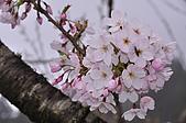 100316悠遊在櫻花的最高殿堂:阿里山櫻花:_DSC0599.JPG