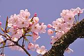 100317悠遊在櫻花的最高殿堂:阿里山櫻花:_DSC0751.JPG