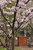 100316悠遊在櫻花的最高殿堂:阿里山櫻花:_DSC0601.JPG