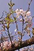 100317悠遊在櫻花的最高殿堂:阿里山櫻花:_DSC0752.JPG