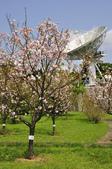 100312陽明山衛星站台附近的櫻花:_DSC0007.JPG