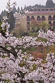 100316悠遊在櫻花的最高殿堂:阿里山櫻花:_DSC0602.JPG