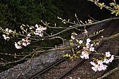 100317悠遊在櫻花的最高殿堂:阿里山櫻花:_DSC0754.JPG
