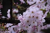 100316悠遊在櫻花的最高殿堂:阿里山櫻花:_DSC0676.JPG