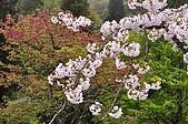 100316悠遊在櫻花的最高殿堂:阿里山櫻花:_DSC0603.JPG