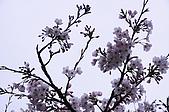 100316悠遊在櫻花的最高殿堂:阿里山櫻花:_DSC0677.JPG