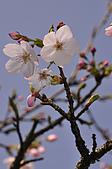 100317悠遊在櫻花的最高殿堂:阿里山櫻花:_DSC0755.JPG