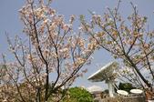 100312陽明山衛星站台附近的櫻花:_DSC0009.JPG