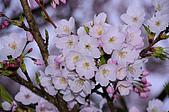 100316悠遊在櫻花的最高殿堂:阿里山櫻花:_DSC0680.JPG