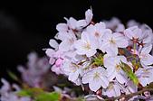 100316悠遊在櫻花的最高殿堂:阿里山櫻花:_DSC0681.JPG