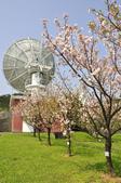 100312陽明山衛星站台附近的櫻花:_DSC0011.JPG