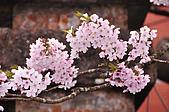 100316悠遊在櫻花的最高殿堂:阿里山櫻花:_DSC0474.JPG