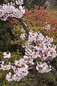 100316悠遊在櫻花的最高殿堂:阿里山櫻花:_DSC0605.JPG