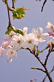 100317悠遊在櫻花的最高殿堂:阿里山櫻花:_DSC0758.JPG