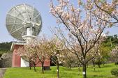100312陽明山衛星站台附近的櫻花:_DSC0012.JPG
