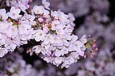 100316悠遊在櫻花的最高殿堂:阿里山櫻花:_DSC0682.JPG