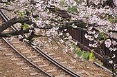 100316悠遊在櫻花的最高殿堂:阿里山櫻花:_DSC0551.JPG