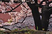 100317悠遊在櫻花的最高殿堂:阿里山櫻花:_DSC0759.JPG