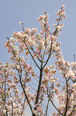 100312陽明山衛星站台附近的櫻花:_DSC0014.JPG