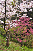 100316悠遊在櫻花的最高殿堂:阿里山櫻花:_DSC0607.JPG