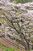 100316悠遊在櫻花的最高殿堂:阿里山櫻花:_DSC0552.JPG