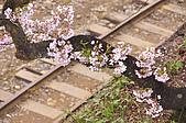 100316悠遊在櫻花的最高殿堂:阿里山櫻花:_DSC0553.JPG