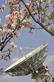 100312陽明山衛星站台附近的櫻花:_DSC0017.JPG