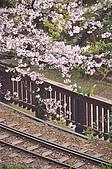 100316悠遊在櫻花的最高殿堂:阿里山櫻花:_DSC0554.JPG