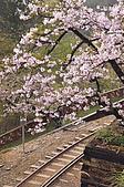 100316悠遊在櫻花的最高殿堂:阿里山櫻花:_DSC0555.JPG