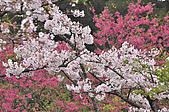 100316悠遊在櫻花的最高殿堂:阿里山櫻花:_DSC0614-1.JPG