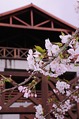 100316悠遊在櫻花的最高殿堂:阿里山櫻花:_DSC0436.JPG