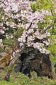 100316悠遊在櫻花的最高殿堂:阿里山櫻花:_DSC0615-1.JPG