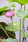 100606植物園荷花初開之喜悅:_DSC3681.JPG