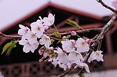 100316悠遊在櫻花的最高殿堂:阿里山櫻花:_DSC0437.JPG