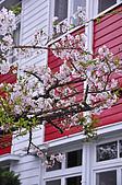 100316悠遊在櫻花的最高殿堂:阿里山櫻花:_DSC0617.JPG