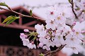 100316悠遊在櫻花的最高殿堂:阿里山櫻花:_DSC0438.JPG