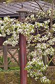 100316悠遊在櫻花的最高殿堂:阿里山櫻花:_DSC0556.JPG