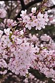 100316悠遊在櫻花的最高殿堂:阿里山櫻花:_DSC0475.JPG