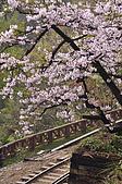 100316悠遊在櫻花的最高殿堂:阿里山櫻花:_DSC0557.JPG