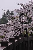 100316悠遊在櫻花的最高殿堂:阿里山櫻花:_DSC0558.JPG