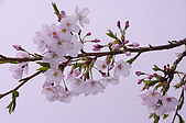 100316悠遊在櫻花的最高殿堂:阿里山櫻花:_DSC0439.JPG