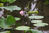100606植物園荷花初開之喜悅:_DSC3688.JPG