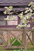 100316悠遊在櫻花的最高殿堂:阿里山櫻花:_DSC0559.JPG