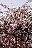 100317悠遊在櫻花的最高殿堂:阿里山櫻花:_DSC0762.JPG