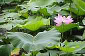 100606植物園荷花初開之喜悅:_DSC3691.JPG