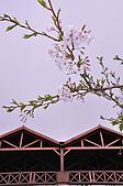 100316悠遊在櫻花的最高殿堂:阿里山櫻花:_DSC0441.JPG