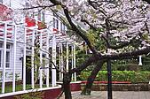 100316悠遊在櫻花的最高殿堂:阿里山櫻花:_DSC0619.JPG