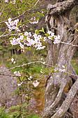 100316悠遊在櫻花的最高殿堂:阿里山櫻花:_DSC0442.JPG