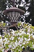 100316悠遊在櫻花的最高殿堂:阿里山櫻花:_DSC0561.JPG