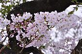 100316悠遊在櫻花的最高殿堂:阿里山櫻花:_DSC0620.JPG